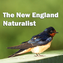 The New England Naturalist